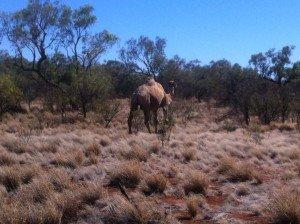 Day 6 : Yulara - Uluru - Mt Olga - alice spring - Aileron : 704 km dans 3. Le Red Centre : Uluru, Kata Tjuta, Devils Marbles img_3041-300x224